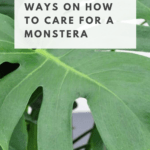 How to take care of a monstera plant with tips, guides and watering advice