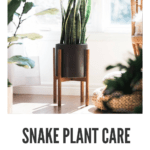 taking care of snake plant