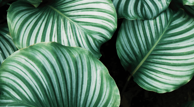 How-to-Care-for-Your-Calathea- Medallion