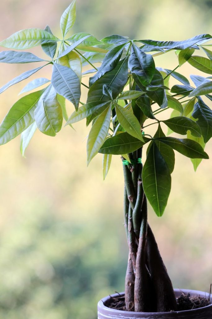How-To-Care-For-Your-Money-Tree