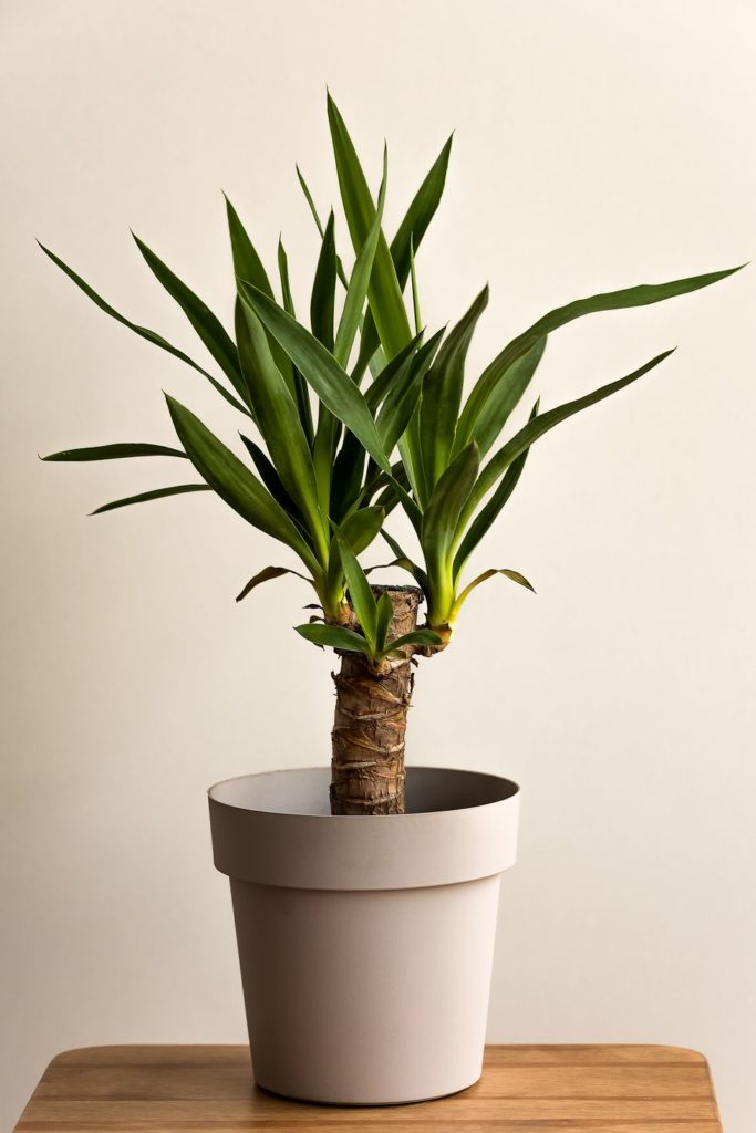 How-To-Care-For-Your-Yucca-Cane
