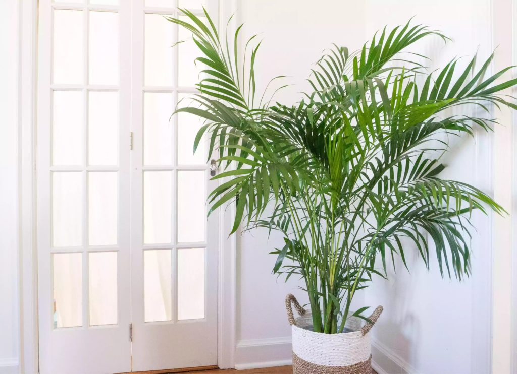 How-To-Care-For-Your-Indoor-Palm-Tree