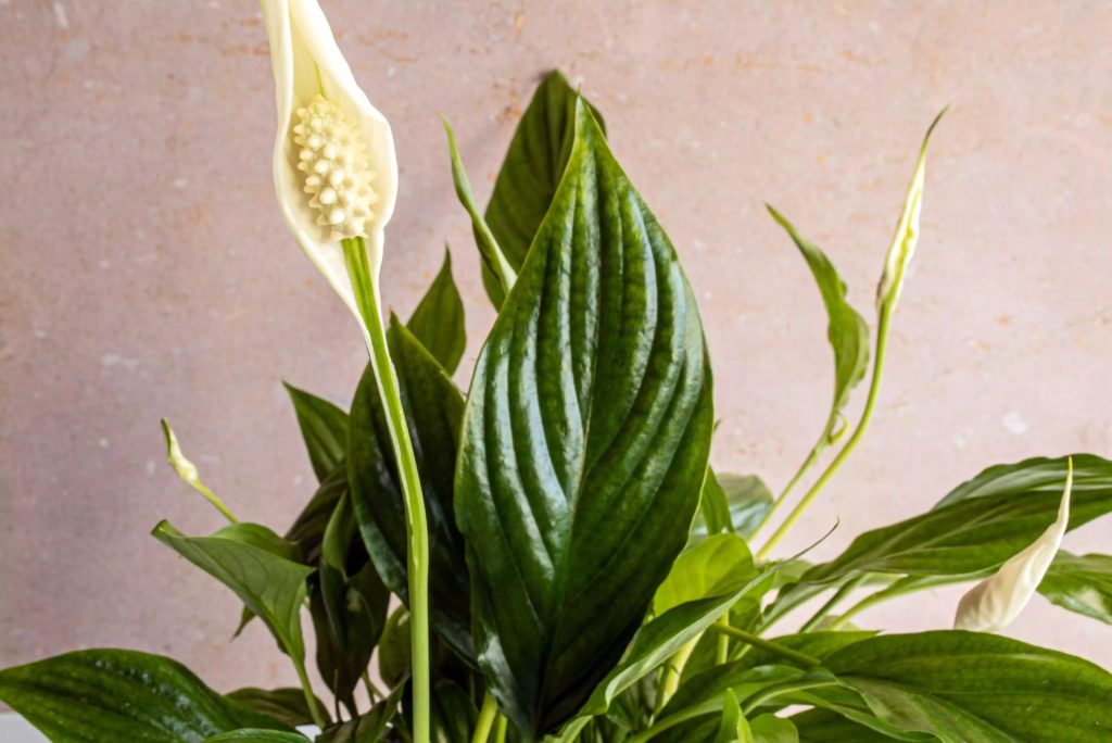 How-To-Care-For-Your-Peace-Lily