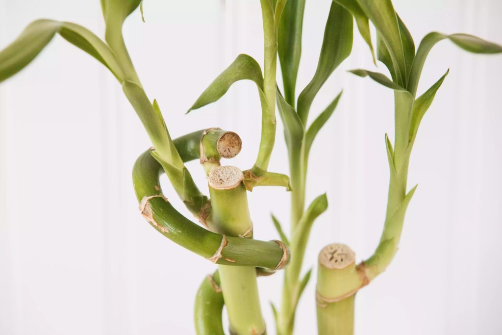 How-To-Care-For-Your-Lucky-Bamboo