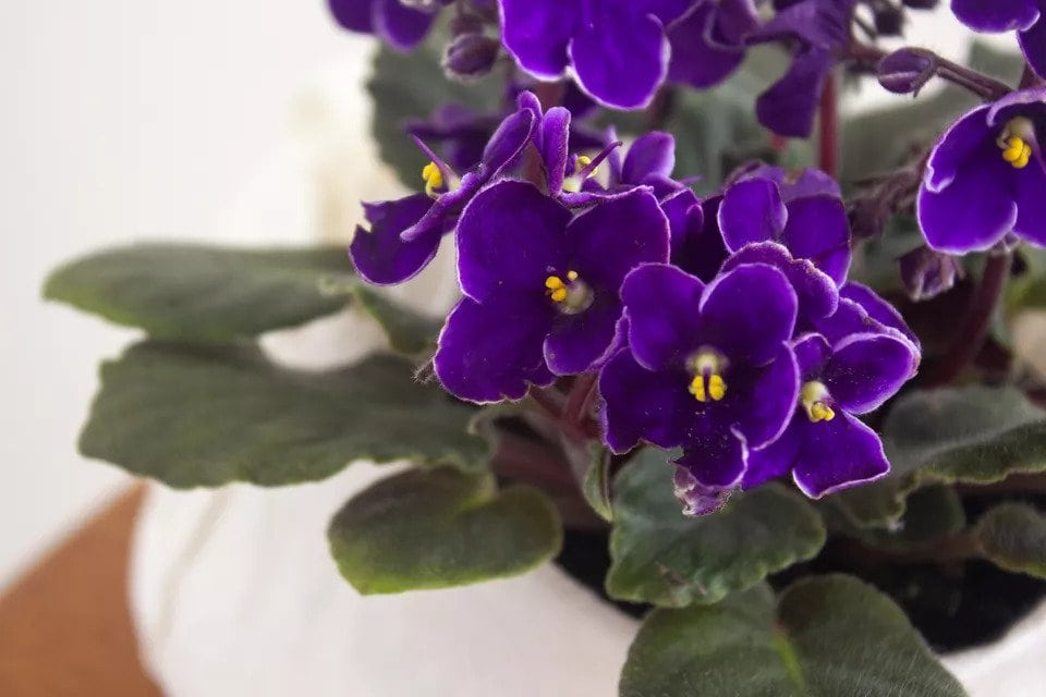 How-To-Care-For-Your-African-Violets