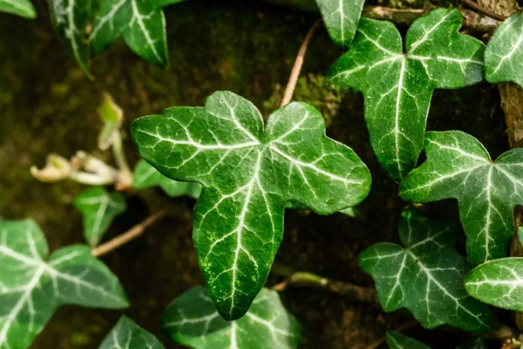 How-To-Care-For-Your-English-Ivy-Plant