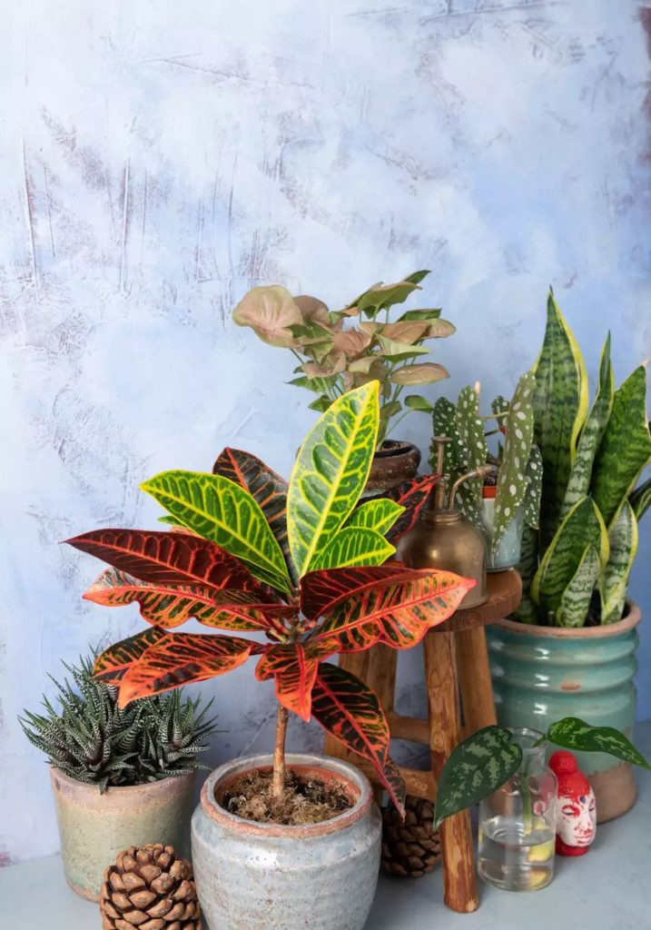 How-To-Care-For-Your-Croton-Plant