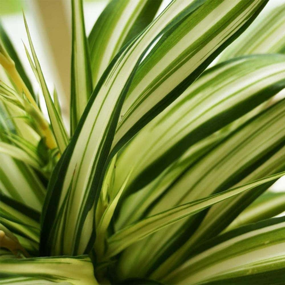 How-To-Care-For-Your-Spider-Plant