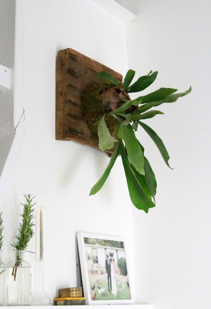 How-To-Care-For-Your-Staghorn-Fern