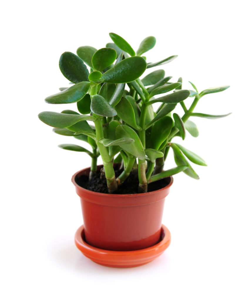 Hard-To-Kill-Houseplants