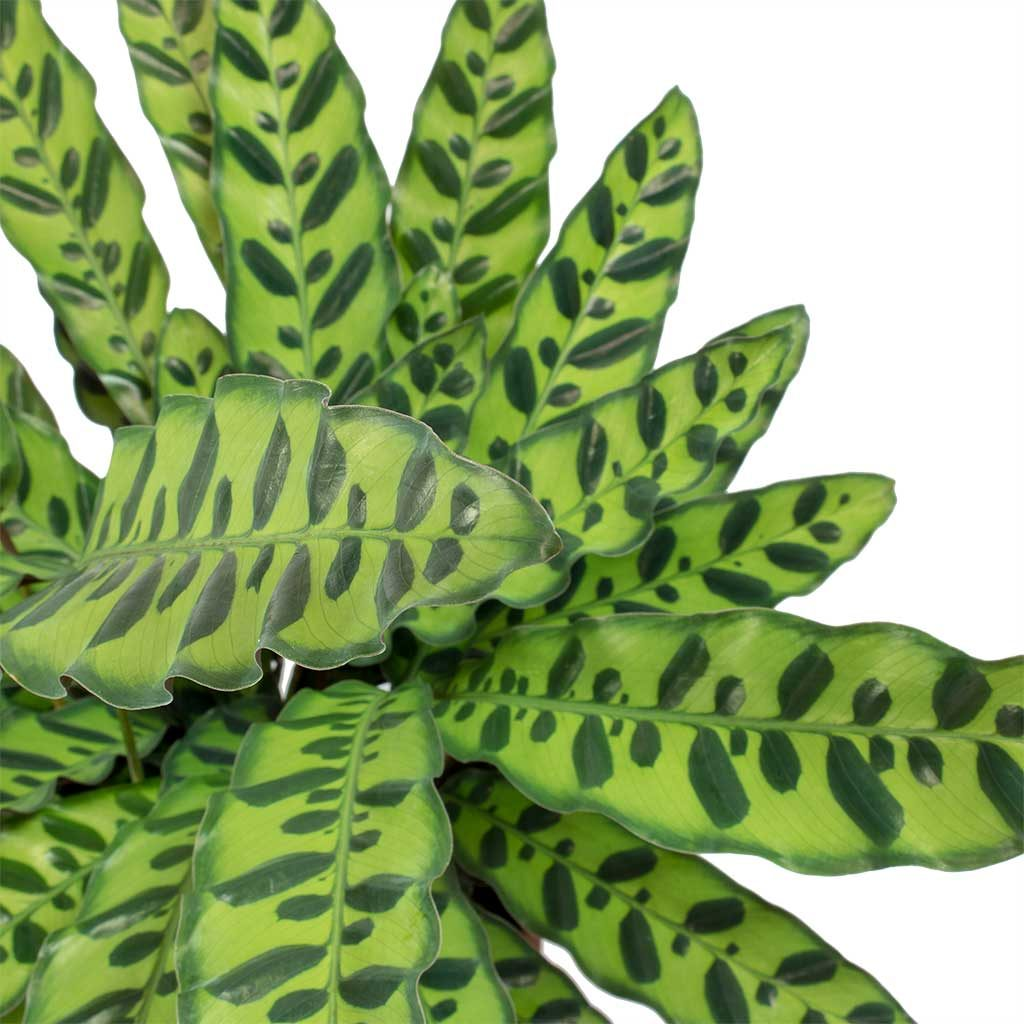 How-To-Care-For-Your-Calathea-Rattlesnake