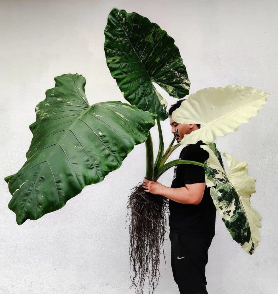 How-To-Care-For-Your-Elephant-Ear