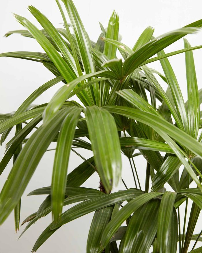 How-To-Care-For-Your-Lady-Palm