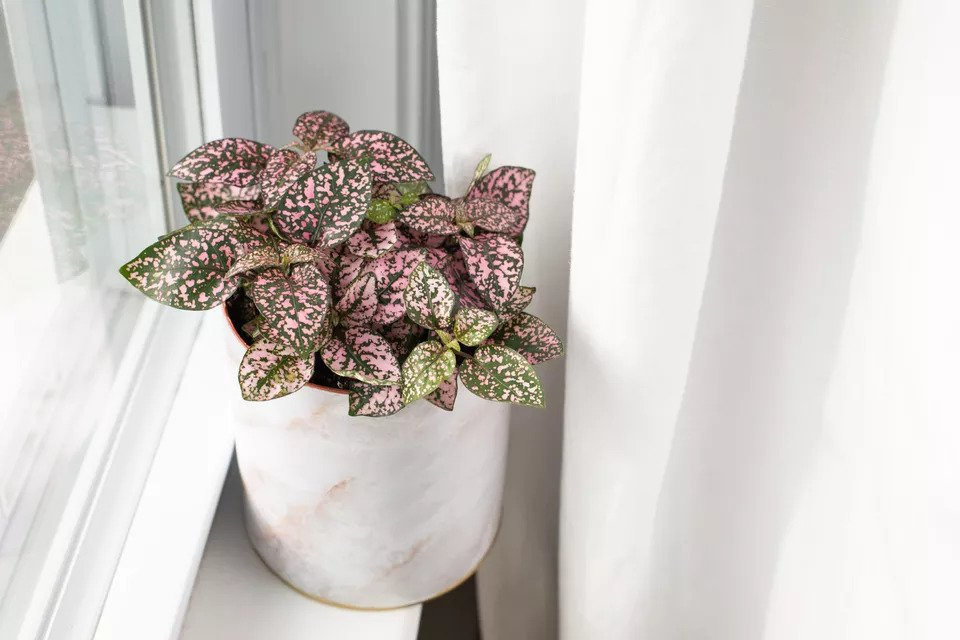 How-To-Care-For-Your-Polka-Dot-Plant