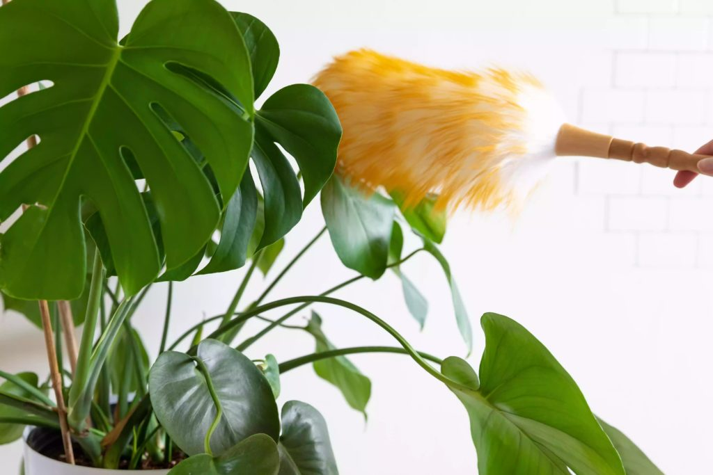 Cleaning-Indoor-Plant-Leaves