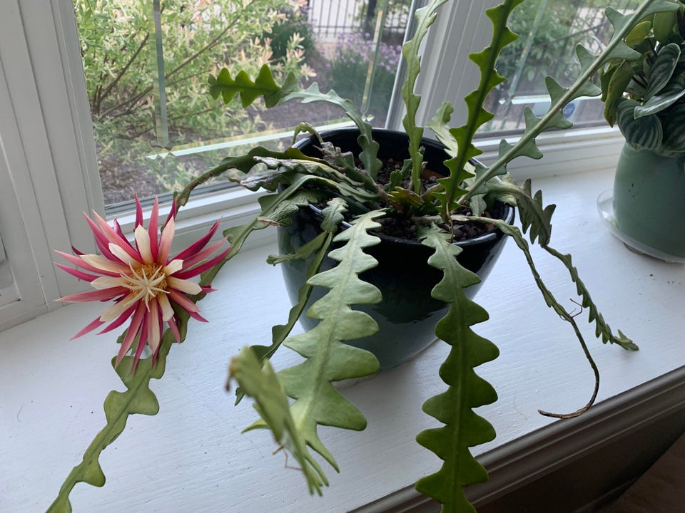 How-To-Care-For-Your-Fishbone-Cactus