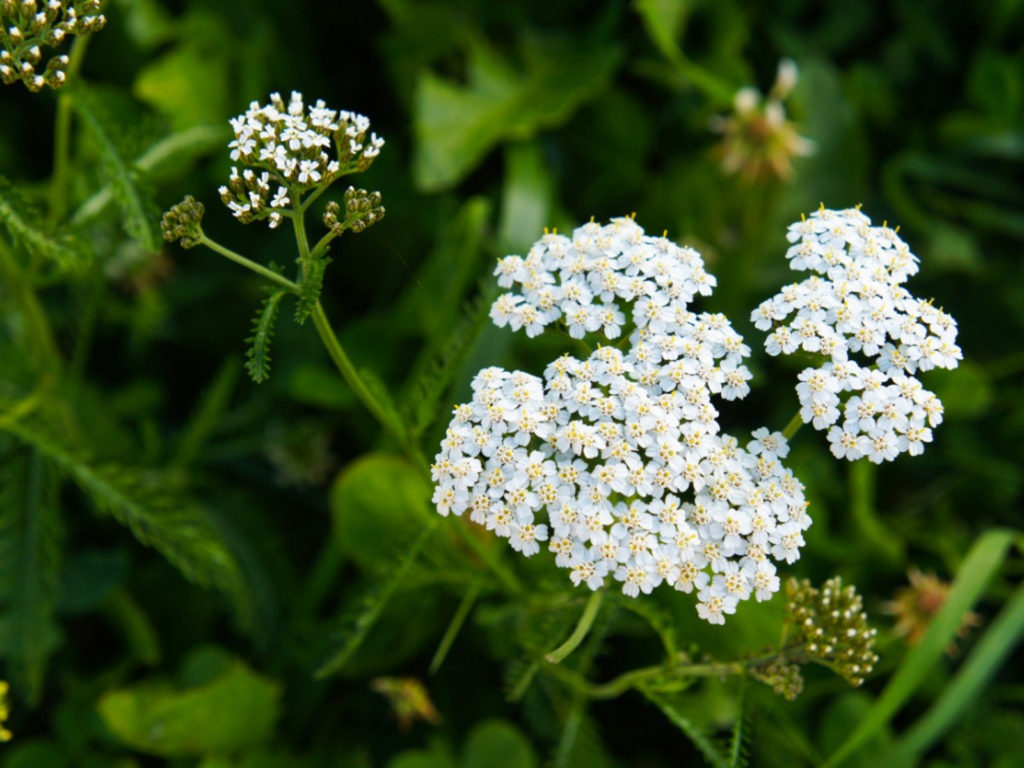Plants to Use for First Aid